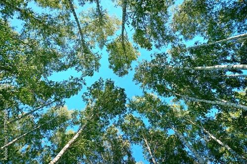Fototapeta Birches, landscape, nature.