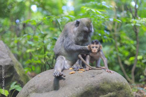 Aluminium Aap Family of monkey in Bali in Indonesia