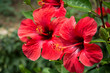 Leinwanddruck Bild - Red hibiscus flower on a green blurred background