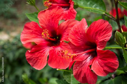 Leinwanddruck Bild Red hibiscus flower on a green blurred background