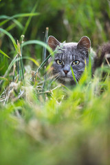 Grey tabby between high grass.