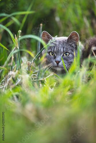 Fotobehang Kat Grey tabby between high grass.