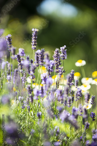 blühender Lavendel