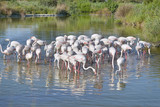 Group of flamingos (Phoenicopterus ruber) in water, in the Camargue is a natural region located south of Arles, France, between the Mediterranean Sea and the two arms of the Rhône delta