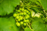 grape, Pinsk, Belarus
