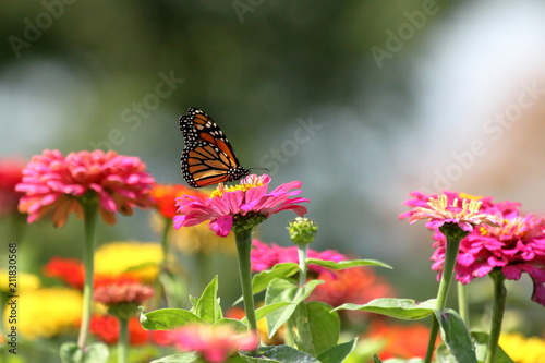 A Monarch Butterfly feeds in my heirloom Zinnia garden on a summer day.