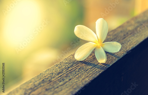 Fotobehang Plumeria White frangipani flower on wood. Yellow and green blurred background with space for text.