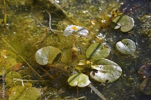 Blühender Froschbiss (Hydrocharis morsus-ranae)  - 211836324