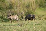 Warzenschwein (Phacochoerus africanus), Südafrika, Afrika - 211836519