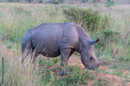 Fotobehang Neushoorn Breitmaulnashorn Baby(Ceratotherium simum), Südafrika, Afrika