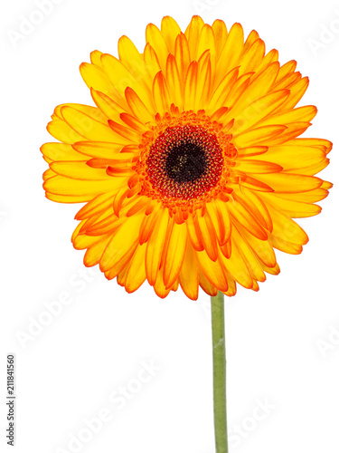 Aluminium Gerbera Red and yellow gerbera flower, on stem, isolated on white background.