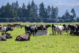 Black and white friesian dairy cows graze, rest and drink in a grassy paddock