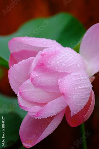 Fotobehang Bali Beautiful pink lotus flower blooming amogst other lotus plants