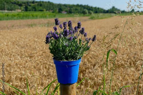 Lavender flowers in closeup - 211870754