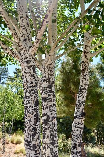 Plexiglas Graffiti Aspen Tree Graffiti Mount Lemmon Arizona