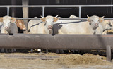 white charolais cows in cowshed