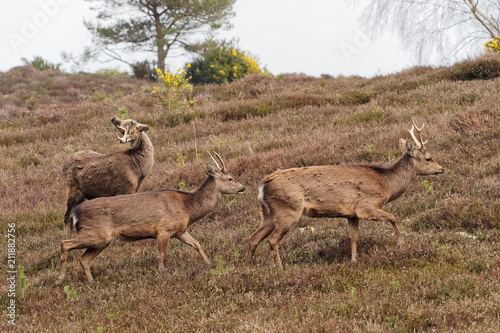 Fotobehang Hert Group of Sika Deer Walking