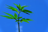 A hemp branch against the blue sky. Green top of cannabis close-up.
