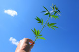 A hemp branch in a male hand against a blue sky with white clouds. Green top of young cannabis close-up.