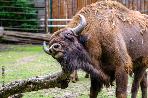 Fotobehang Bison Auroch, animal in zoo. Aurochs lives in european nature reserves. Those animals are under protection.