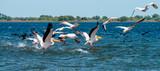 Romania, Danube Delta: Pelikane - 211904780