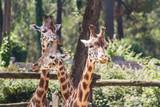 girafes © ALF photo