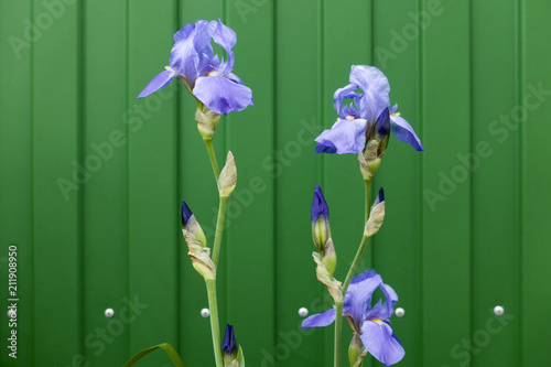 Fotobehang Iris Violet blooming iris flowers on a green fence background