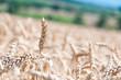 wheat field details
