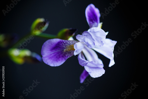 Fotobehang Iris beautiful violet iris flower