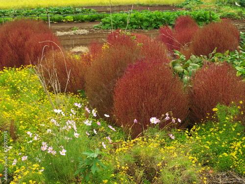 コキアと秋の花畑 - 211921954
