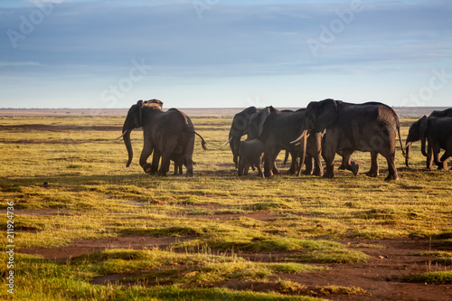 Fototapeta Herd of elephants in Amboseli, Kenya