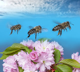 three bees (apis mellifera) flying on blue sky - 211926157