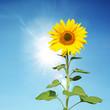 Leinwanddruck Bild - Wunderschöne Sonnenblume