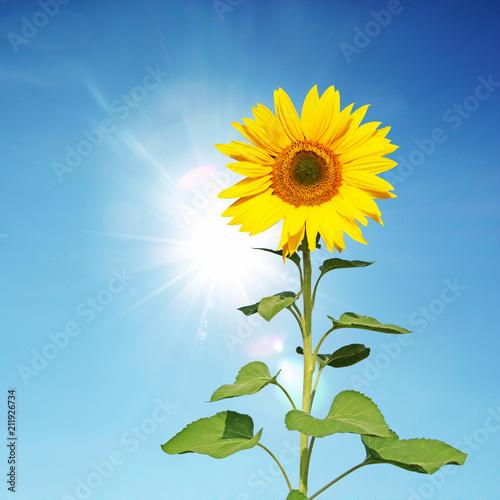Leinwanddruck Bild Wunderschöne Sonnenblume
