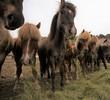Cavalli autoctoni Islandesi