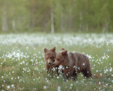 Two young bears sniffs the cotton grass on a Finnish bog near Russian border - 211957148