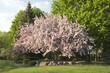 Beautiful flowering crabapple tree in Minnesota