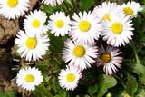 margherite fiori di campo