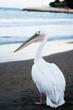 sahilde gezen beyaz pelikan