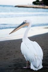 sahilde gezen beyaz pelikan © banusevim