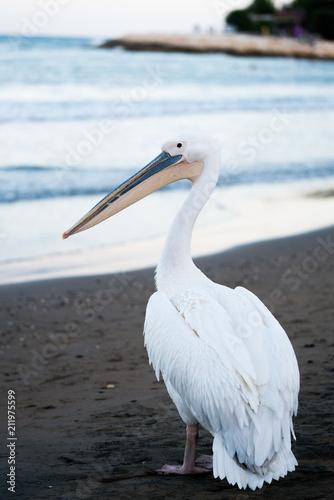 Fototapeta sahilde gezen beyaz pelikan