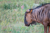 Gnus (Connochaetes), Südafrika, Afrika - 211983596