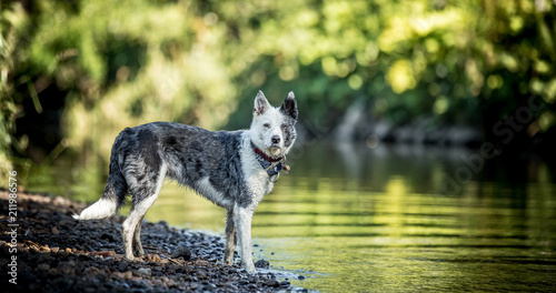 Fotobehang Wolf Collie at the River
