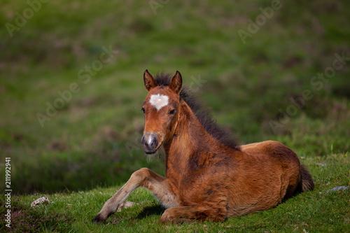Fotobehang Paarden Foal