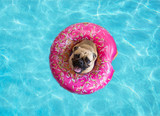 Cute pug dog floating in a swimming pool with a pink donut ring flotation device