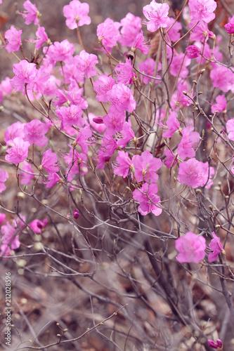 Fotobehang Azalea pink azalea