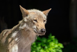 Portrait of a wolf in the park - 212036961