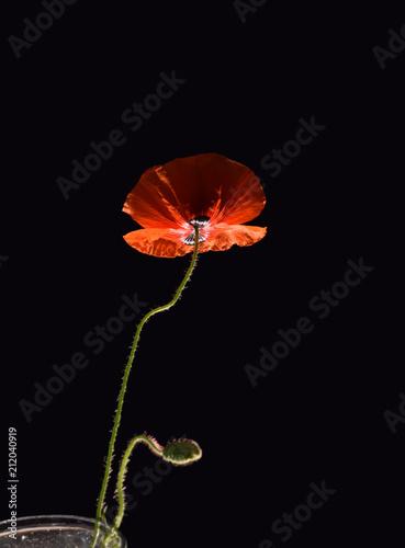 Fototapeta poppy flower