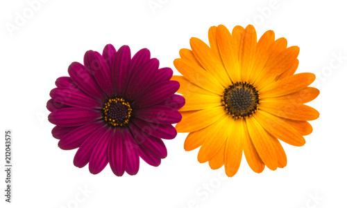 Osteosperumum Flower Daisy - 212043575