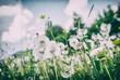 Dandelions in spring meadow, analog filter
